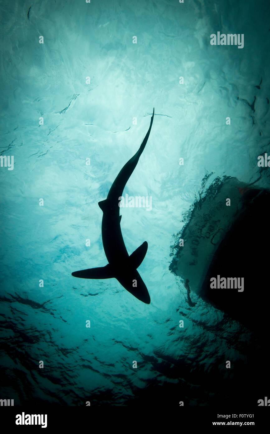 Basso angolo vista di squalo blu Immagini Stock