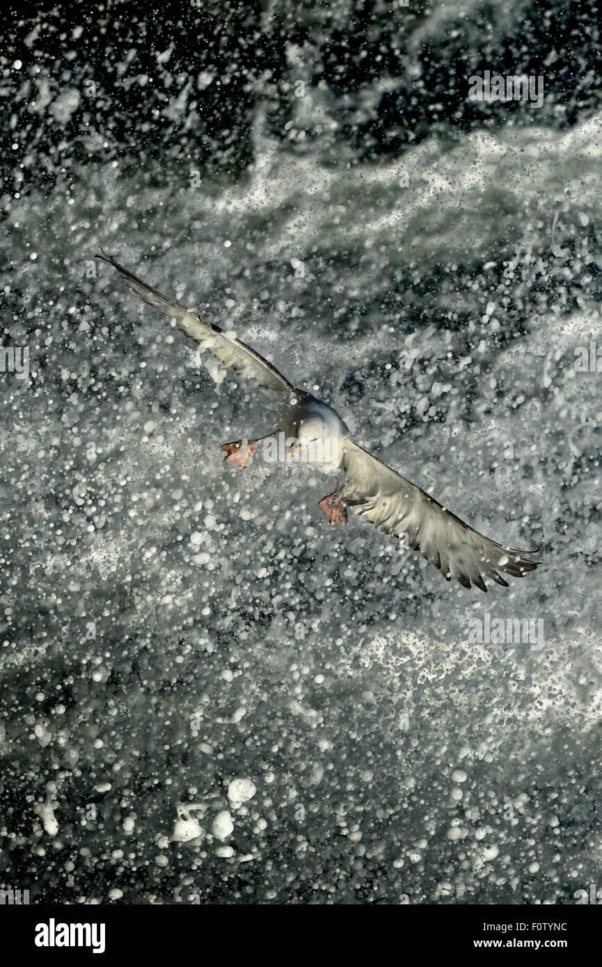 Fulmarus glacialis Immagini Stock