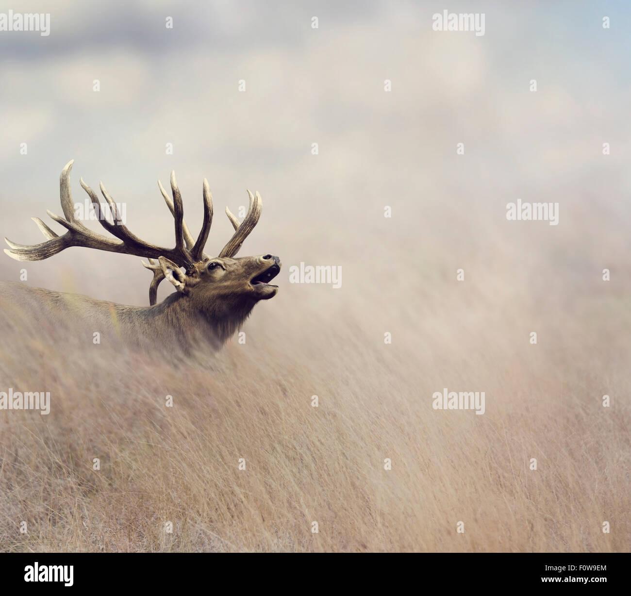 Elk camminando in erba alta Immagini Stock