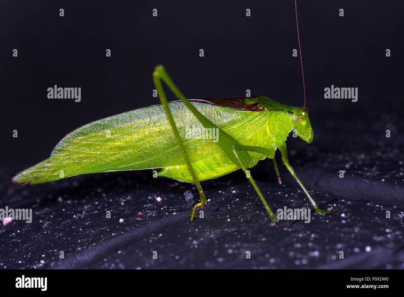 Minore Katydid Angle-Wing Immagini Stock