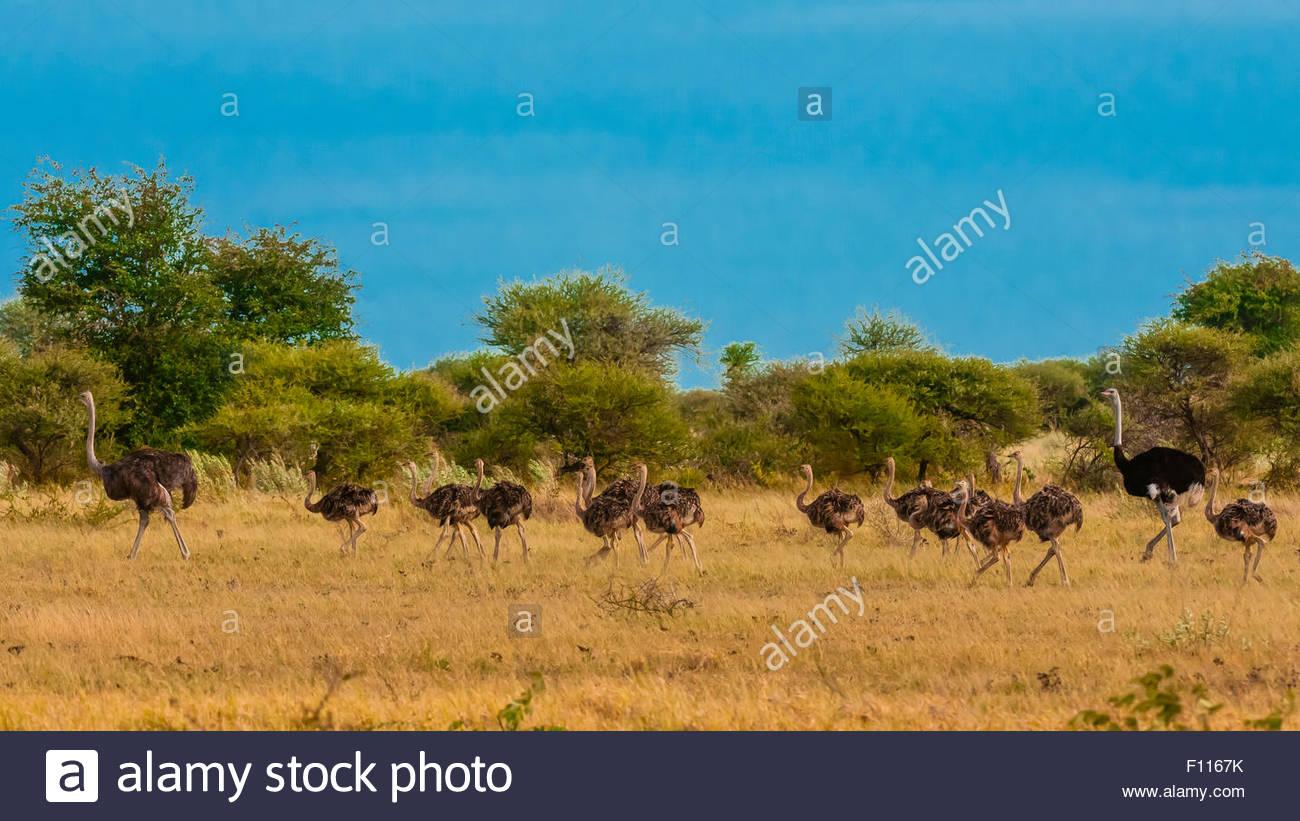 Allevamento di struzzi, Nxai Pan National Park, il Botswana. Immagini Stock