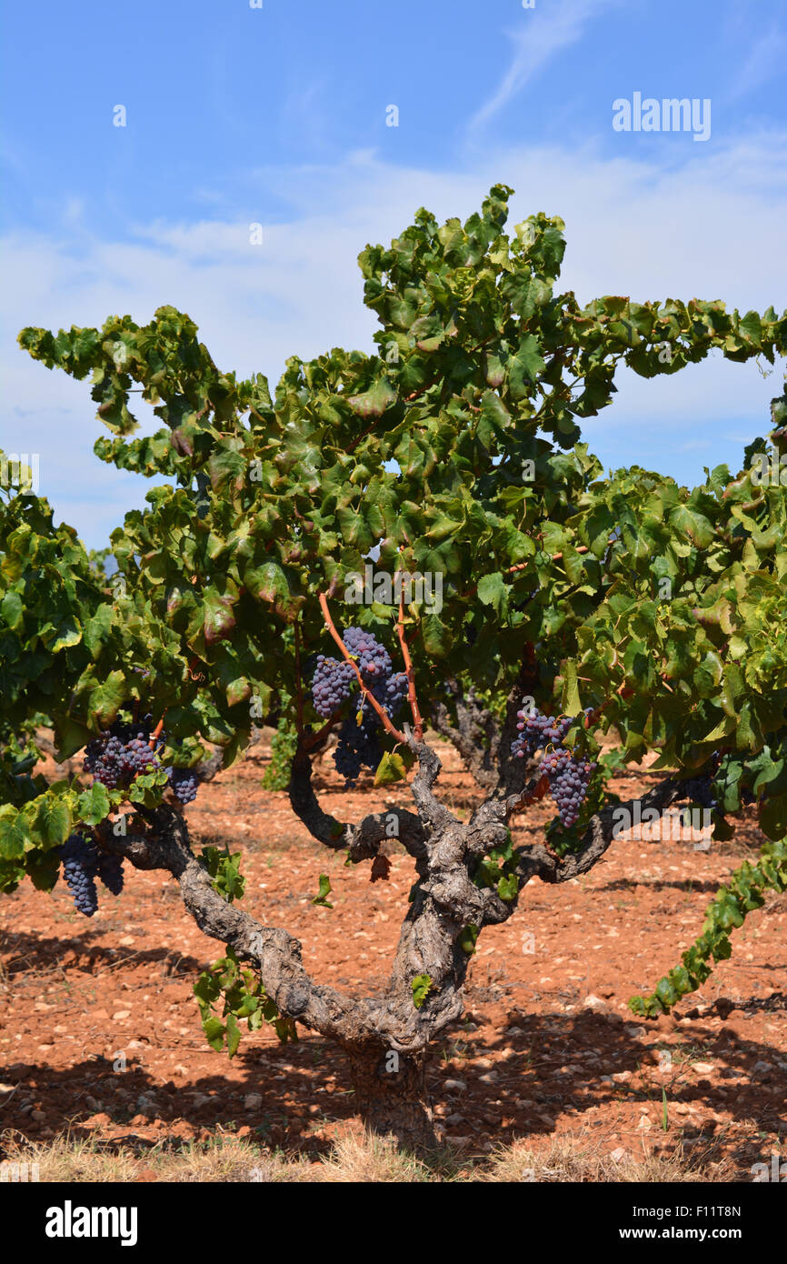 I grappoli di uva sulla vite Jalon Valley, Provincia di Alicante, Spagna Immagini Stock