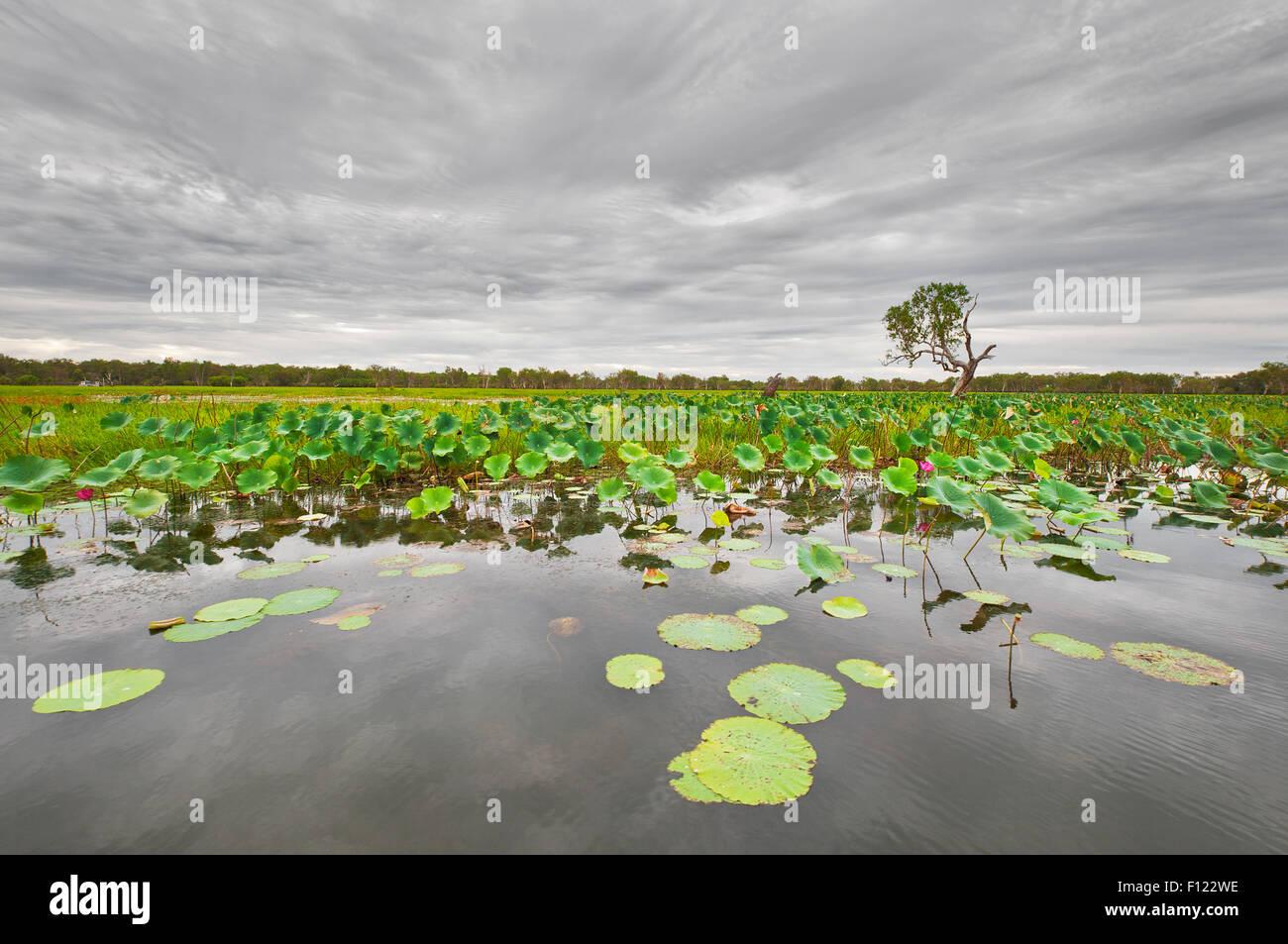 Water Lilies sul Fiume South Alligator nel Parco Nazionale Kakadu. Foto Stock