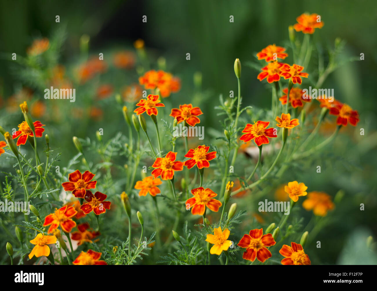 Calendula fiori - Tagetes - fiori arancione su erba verde sullo sfondo - poco profonda profondità di messa a fuoco Foto Stock