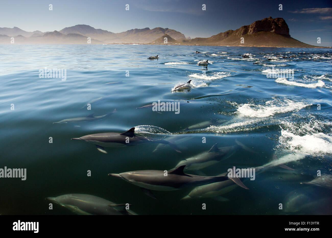 Delfino comune (Delphinus delphis) False Bay, Città del Capo, Sud Africa Foto Stock