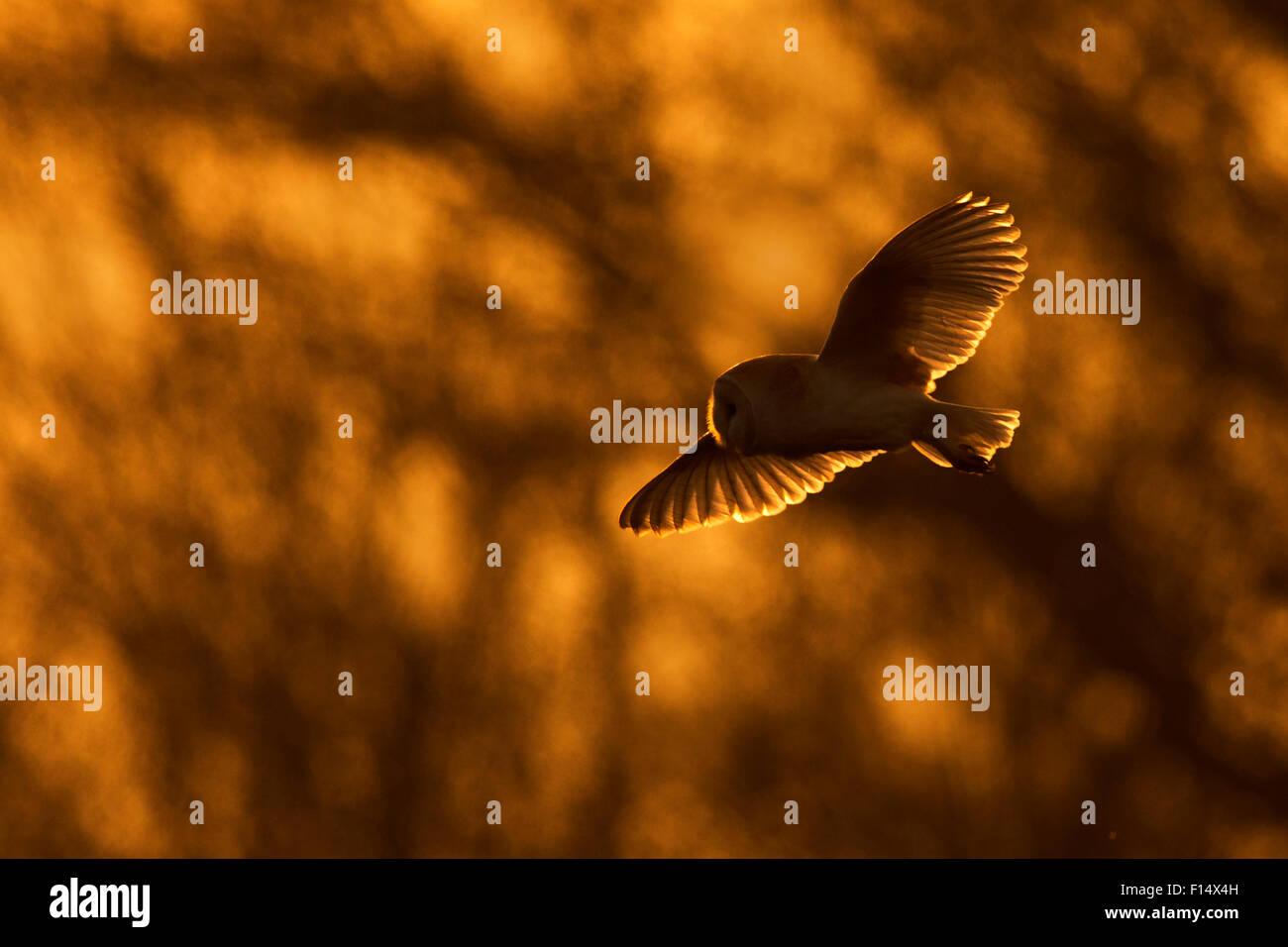 Il barbagianni (Tyto alba) in volo al tramonto, UK, Marzo. Immagini Stock