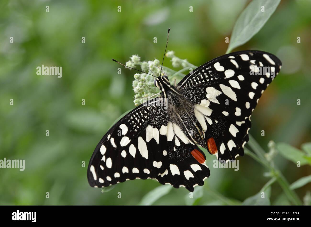 Calce comune butterfly, limone butterfly, calce a coda di rondine, Papilio demoleus Immagini Stock