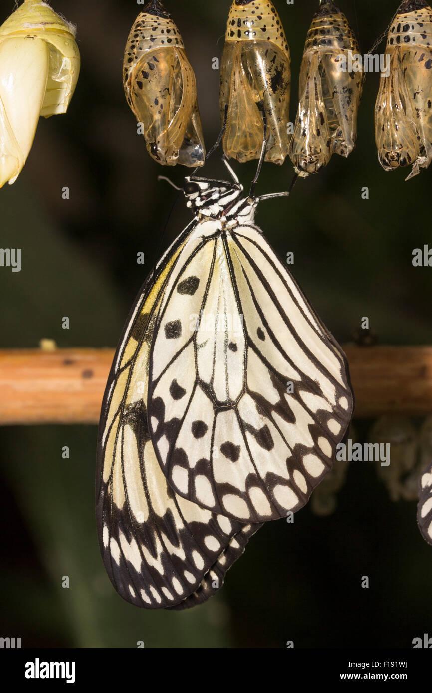Appena emerse aquilone di carta di farfalle tropicali, Idea leuconoe, in appoggio sotto la scatola di pupa. Immagini Stock