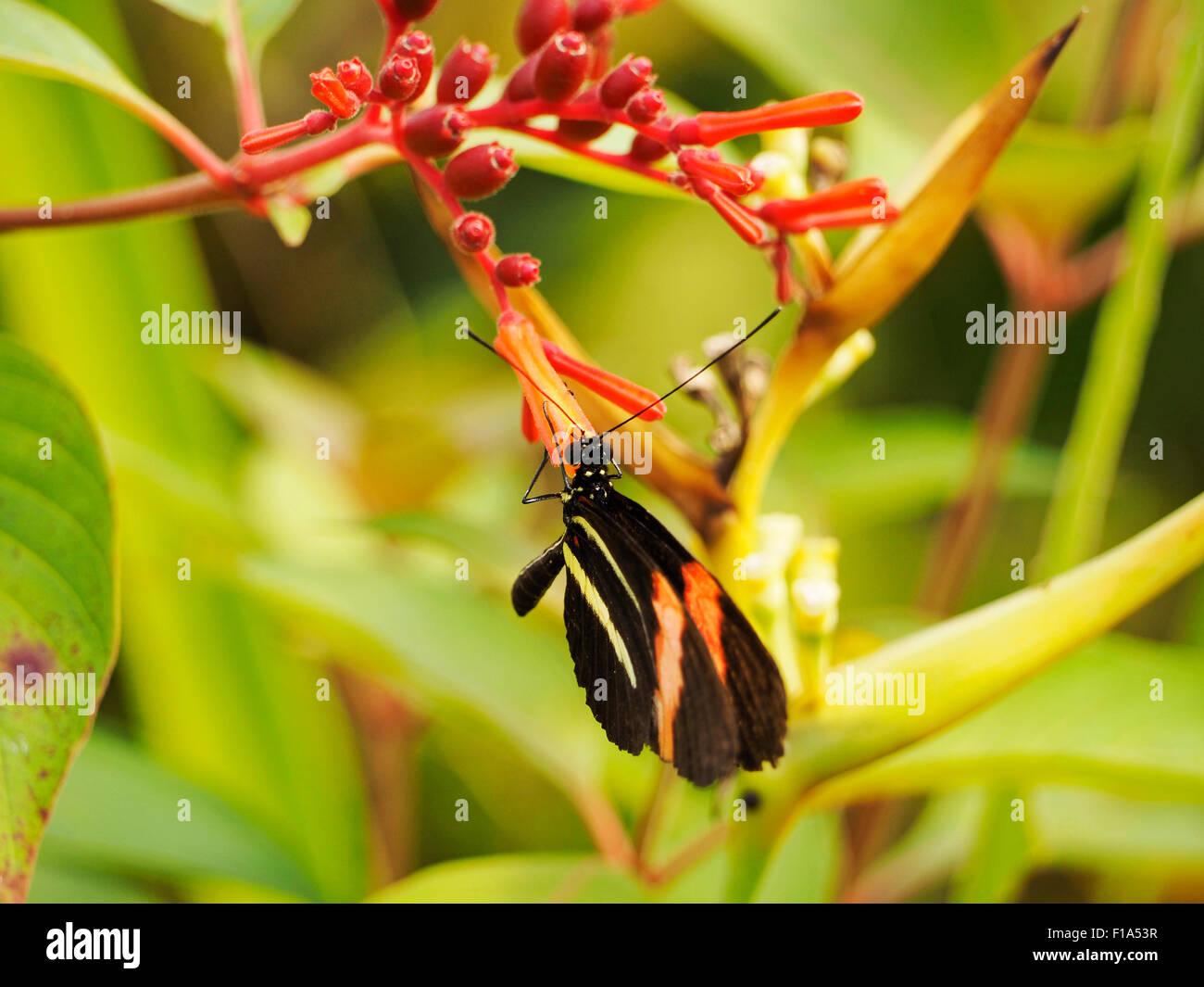 Farfalle tropicali seduta su un fiore rosso in Blijdorp Zoo di Rotterdam Paesi Bassi Immagini Stock