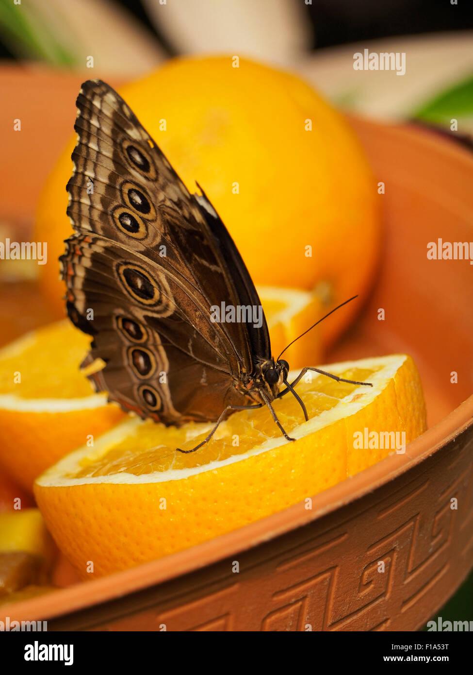 Grandi farfalle tropicali seduti sulla mezza arancia, Blijdorp Zoo di Rotterdam Paesi Bassi Immagini Stock