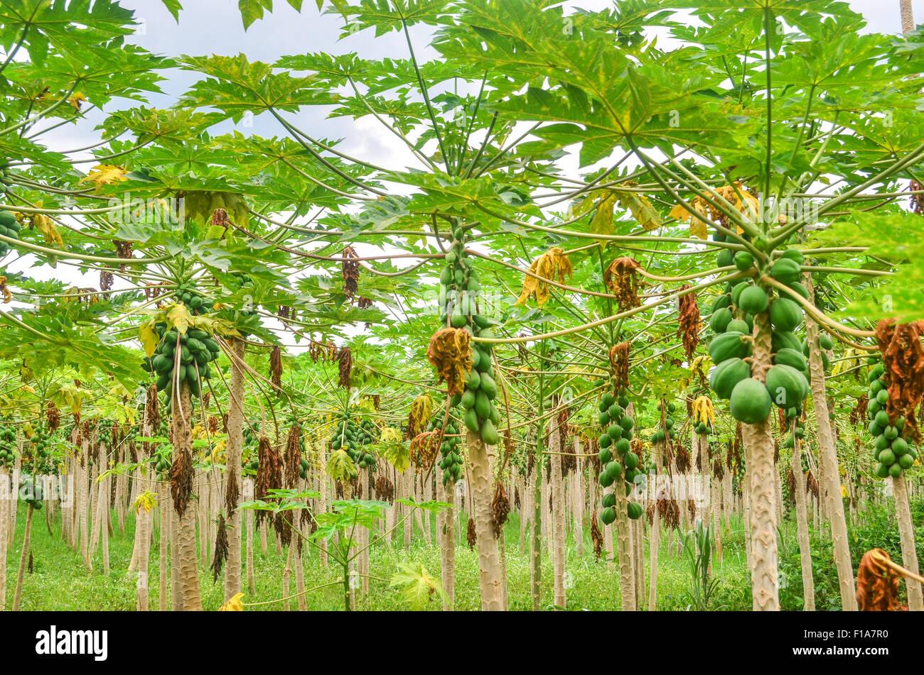 La papaia piantagione in Costa d Avorio / Costa d'Avorio Immagini Stock
