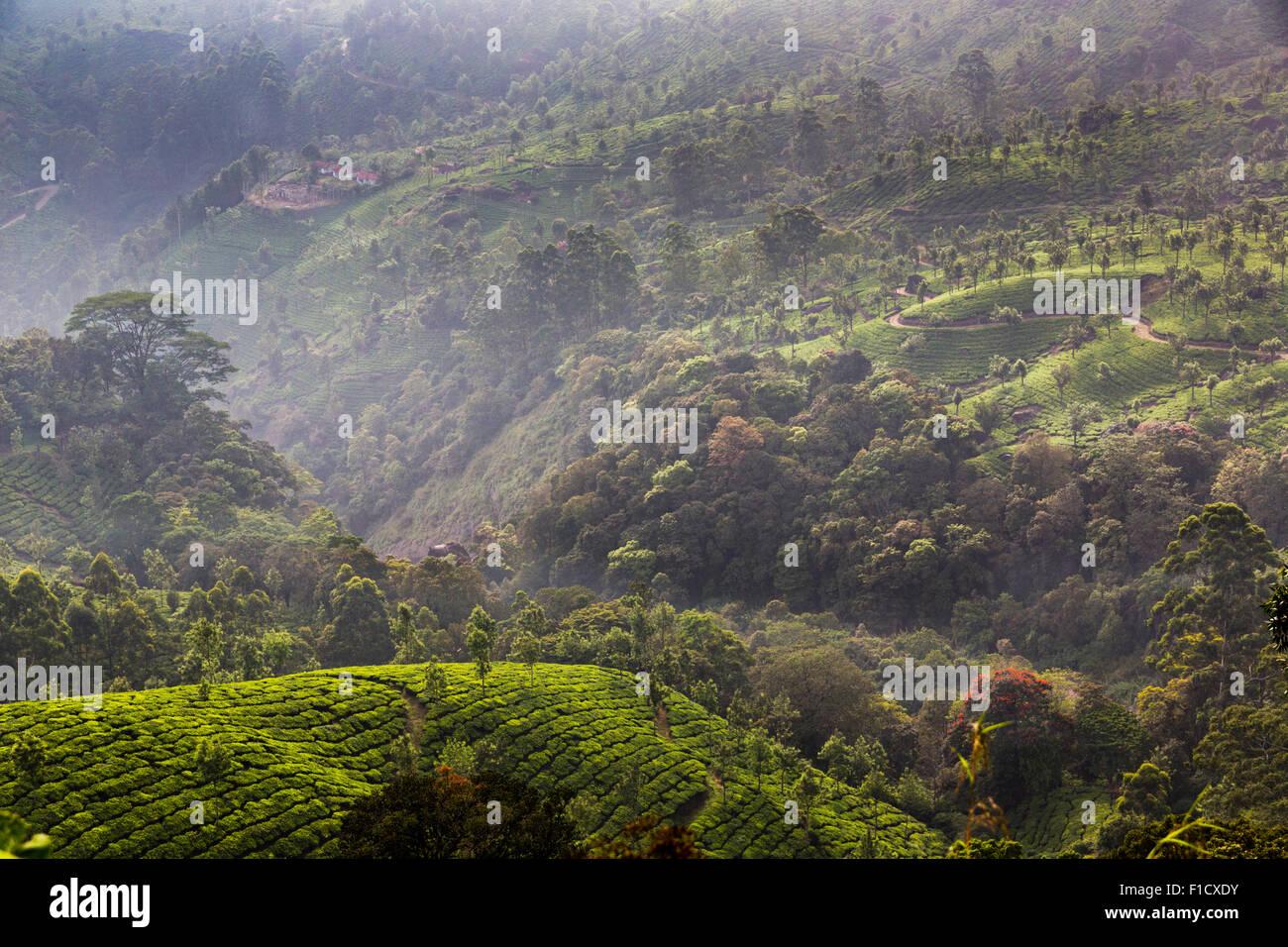 La piantagione di tè vicino a Munnar in Kerala, India vista da Pothamedu si affacciano sulla strada nazionale Immagini Stock