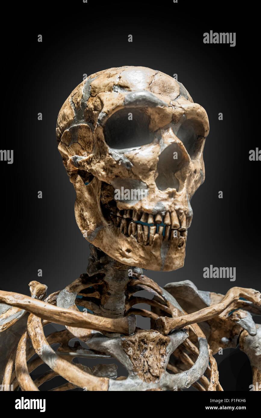 Una ricostruzione dello scheletro di uomo di Neanderthal ha messo k.o. su uno sfondo nero. Foto Stock