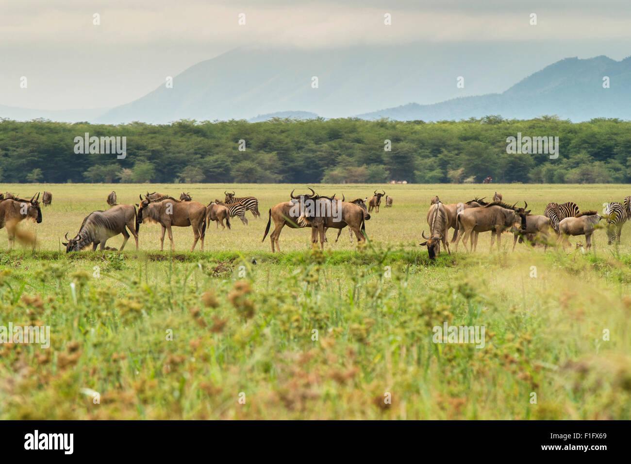 Lake Manyara safari in Tanzania Wildebeast e Zebra pascolano Immagini Stock