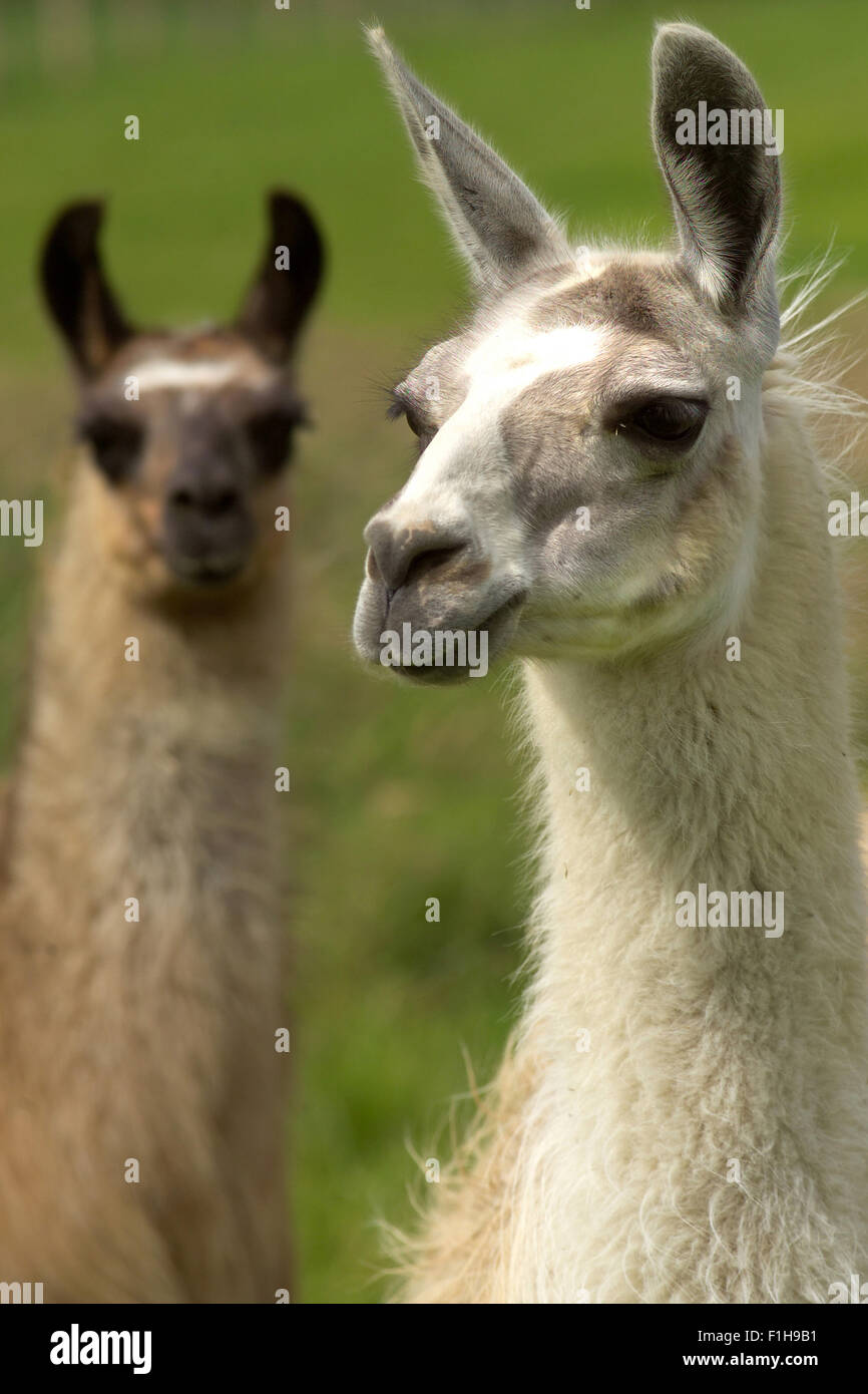 Llamas / South American animali Immagini Stock