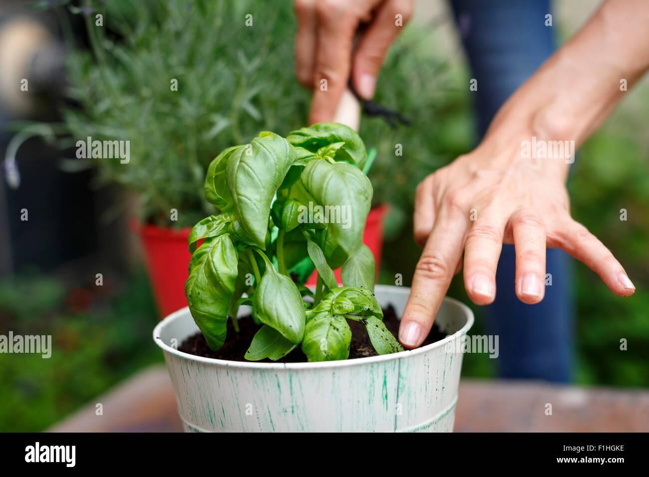 Vista ritagliata della mani di piantare il basilico in plantpot Immagini Stock