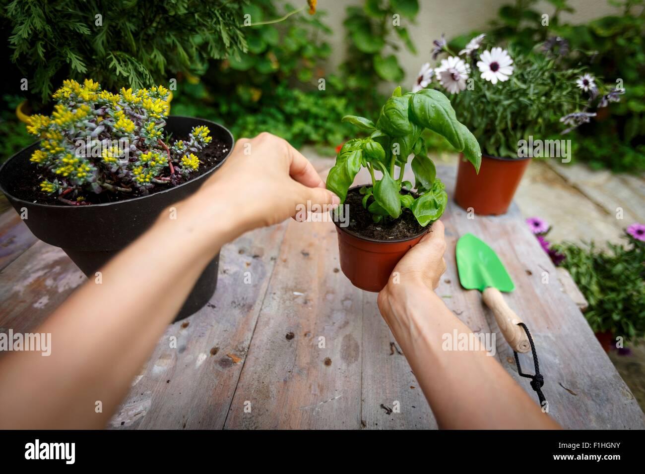 Punto di vista colpo di mani pianta di basilico Immagini Stock