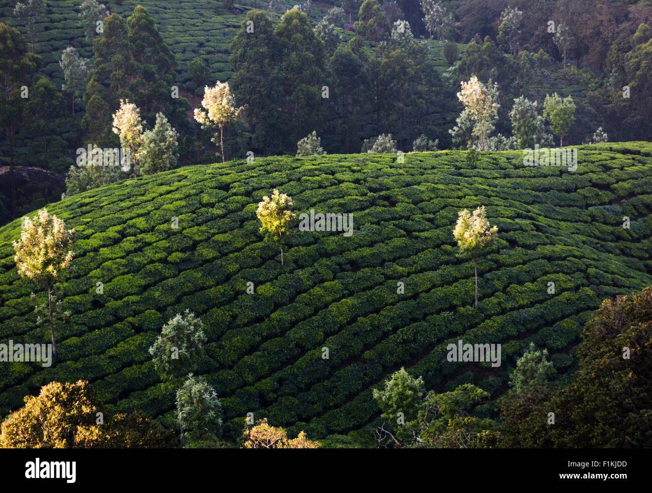 La piantagione di tè da Pothamedu si affacciano, National Highway 49 vicino a Munnar, India. Argento alberi Immagini Stock