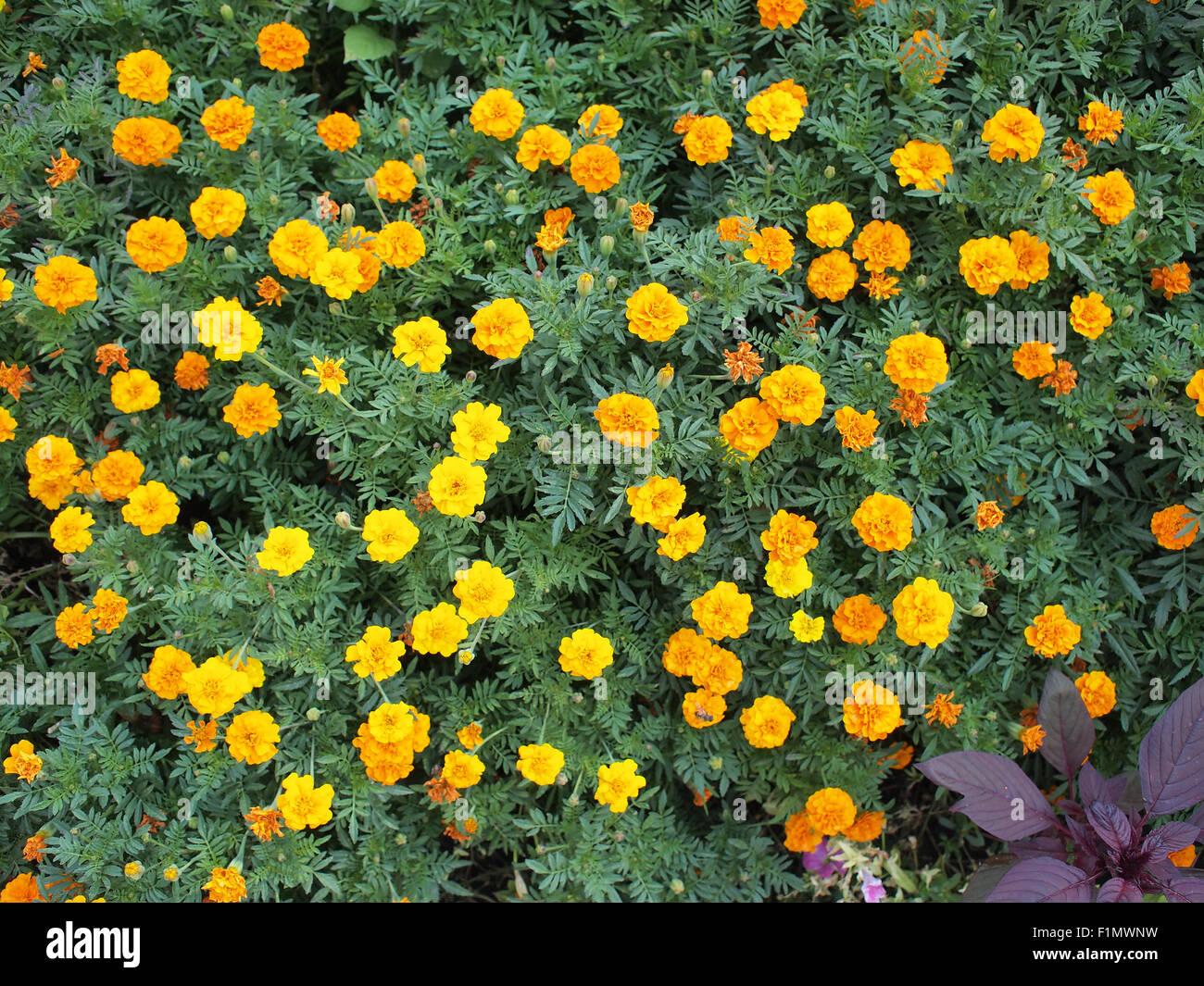 Fiori Gialli Per Aiuole.Vista Dall Alto Di Una Grande Aiuola Di Fiori Gialli Tagetes Foto