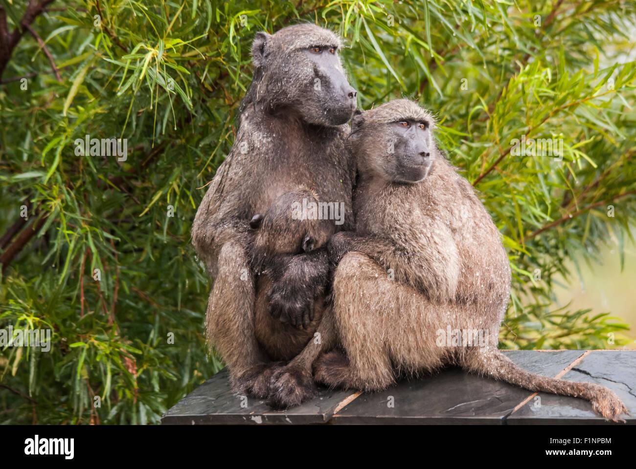 Famiglia di babbuino sotto la pioggia Immagini Stock