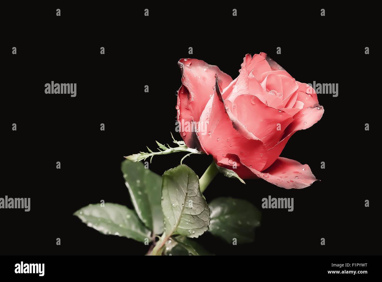 Lo Studio Foto Di Una Rosa Rossa Con Gocce Di Rugiada Su Uno Sfondo