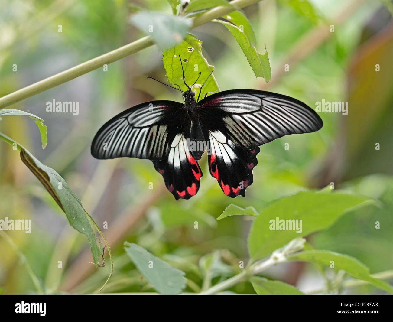 Macro. Papilio rumanzovia. Farfalle tropicali. Immagini Stock