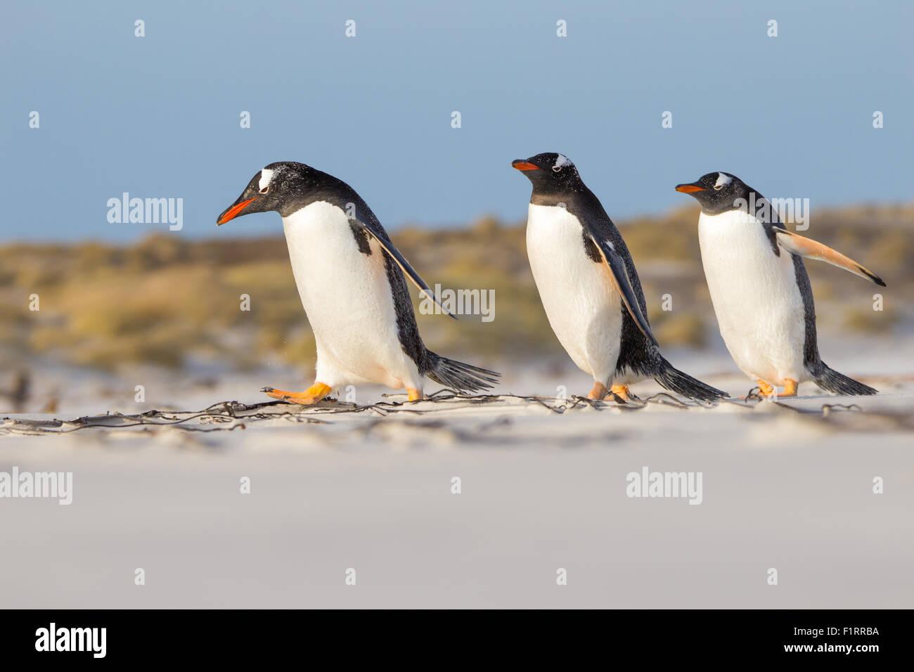 Trio di pinguini Gentoo facendo una passeggiata sulla spiaggia. Isole Falkland. Immagini Stock