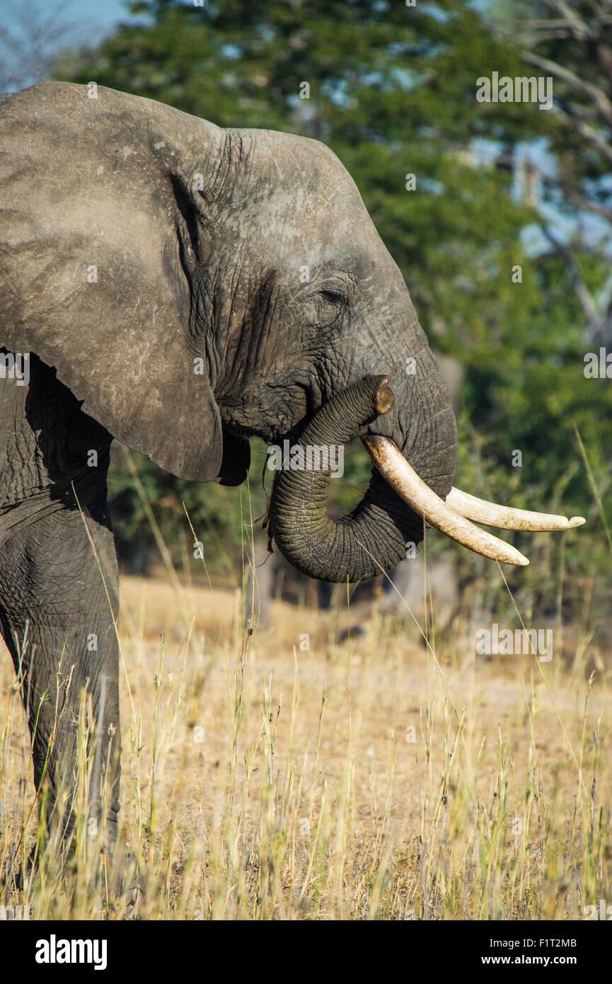 Bush africano Elefante africano (Loxodonta africana), Liwonde National Park, Malawi, Africa Immagini Stock
