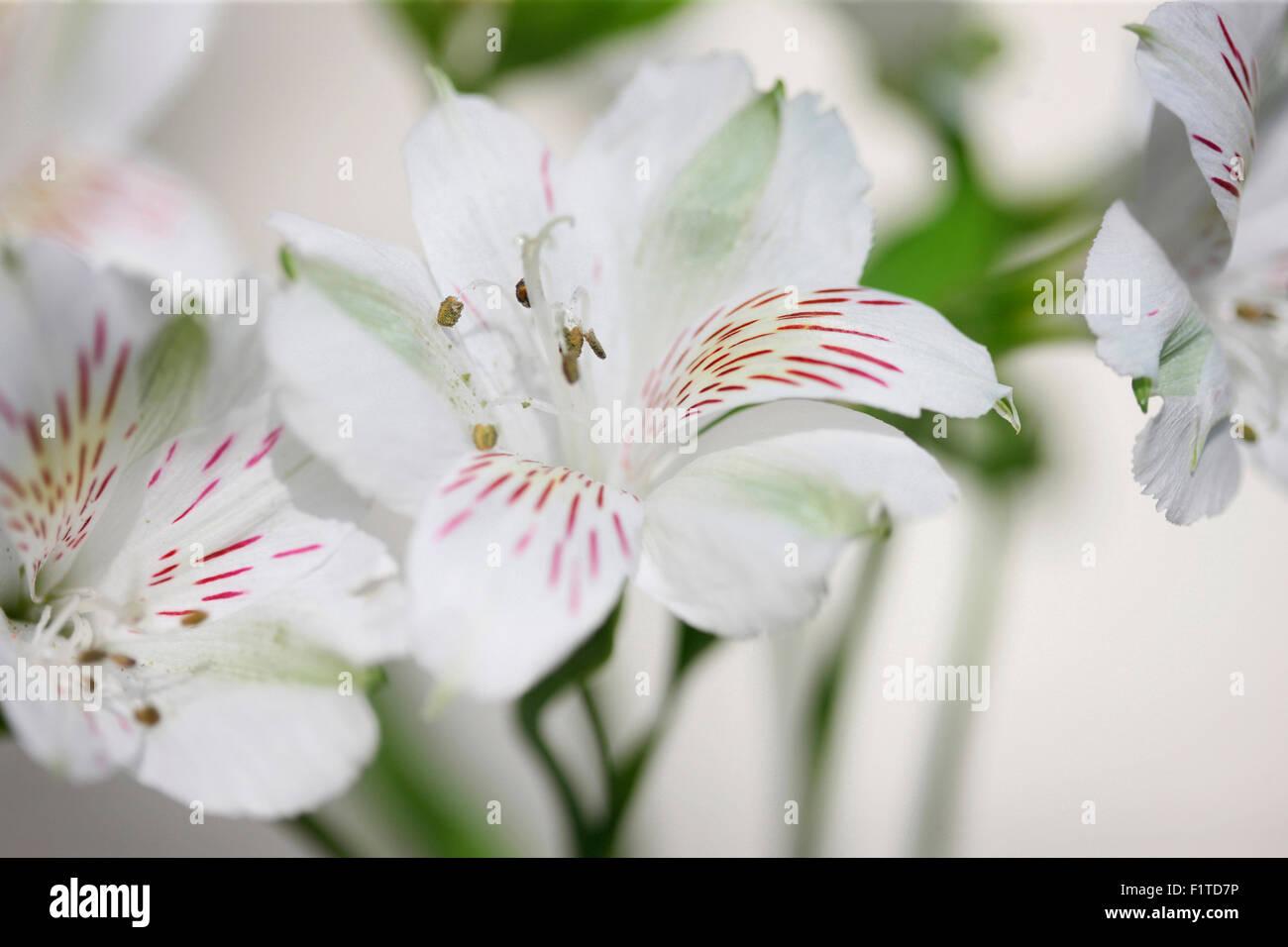 Alstroemeria simboleggia l'amicizia e devozione Jane Ann Butler JABP Fotografia1180 Immagini Stock