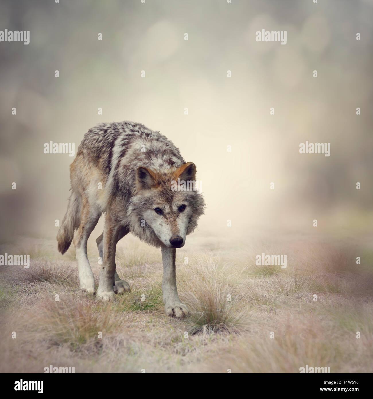 Ritratto di Lupo grigio a piedi Immagini Stock