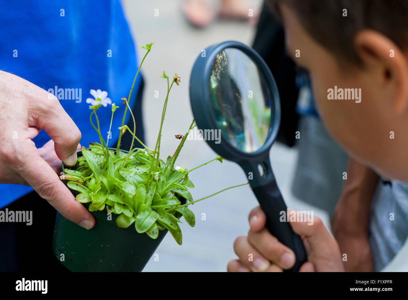 Bambino guardando attraverso la lente di ingrandimento a Butterwort pianta carnivora (Pinguicula vulgaris) Immagini Stock