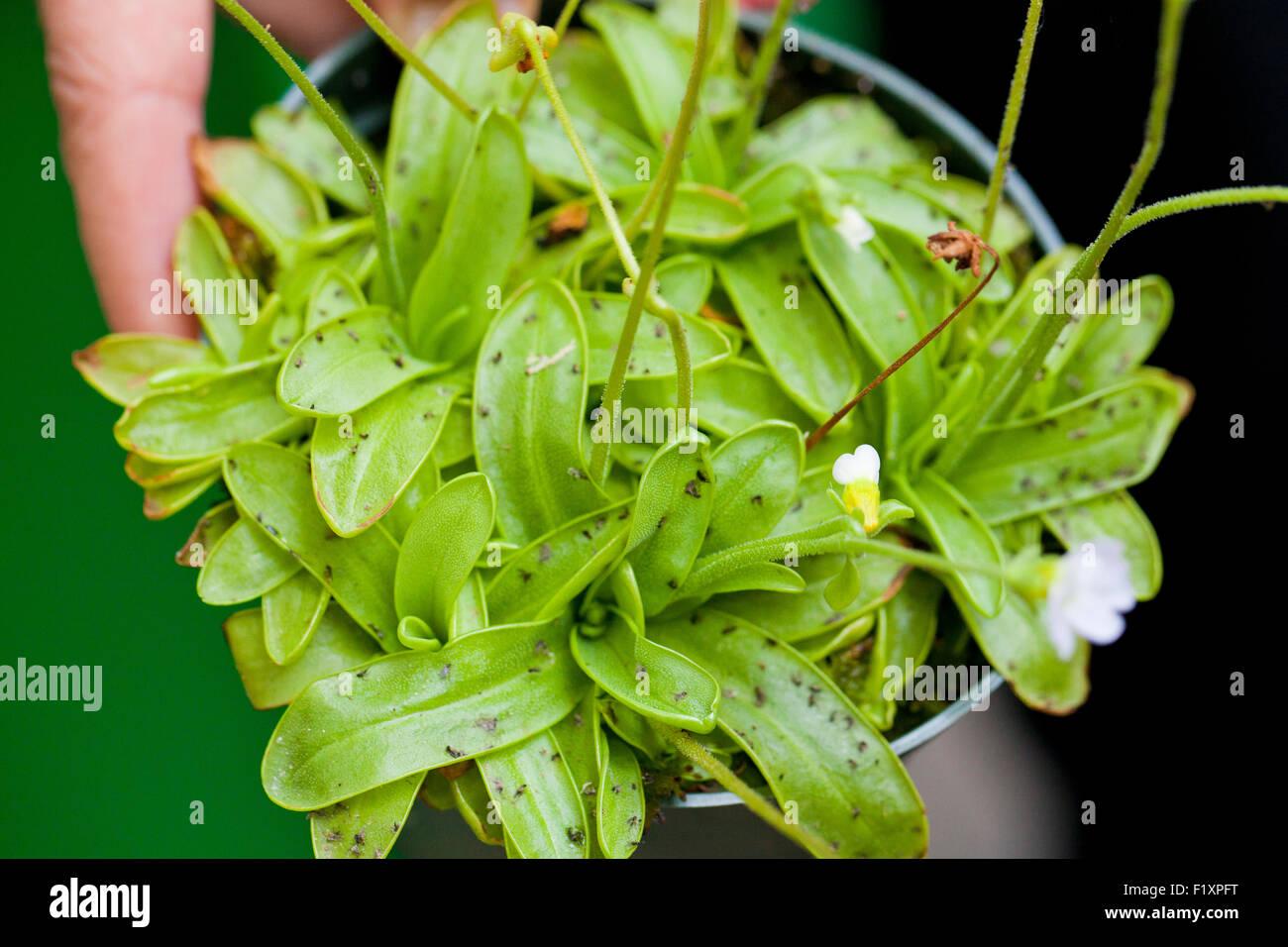 Butterwort pianta carnivora (Pinguicula vulgaris) Immagini Stock