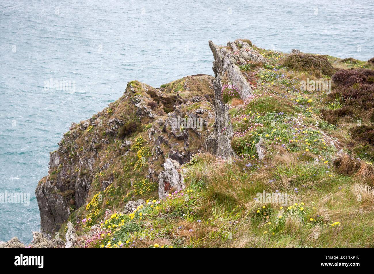 La molla fiori selvaggi sulle scogliere nel nord Pembrokeshire, Galles. Foto Stock