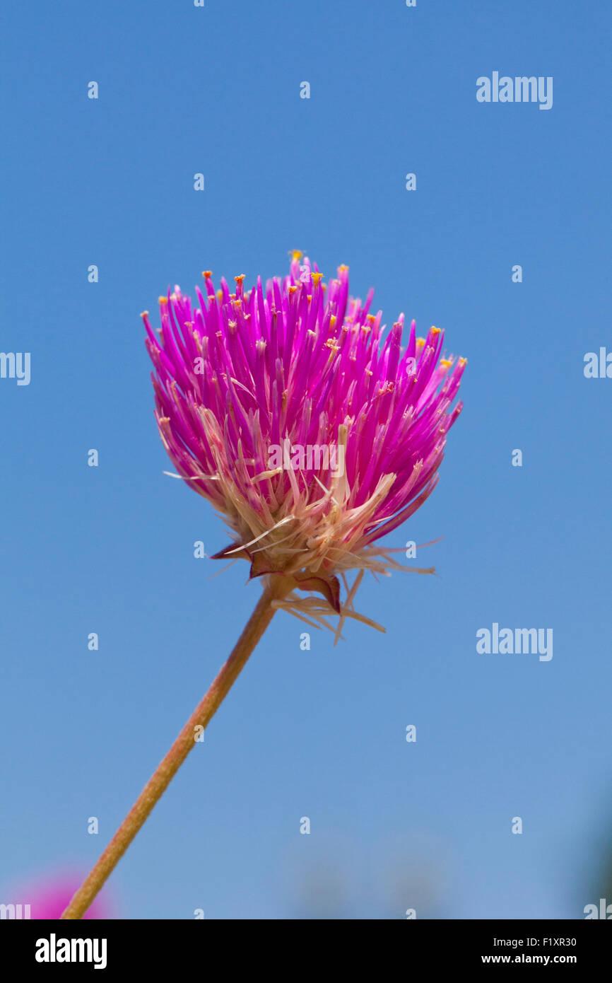 Globo fiore di amaranto (Gomphrena globosa) - USA Immagini Stock