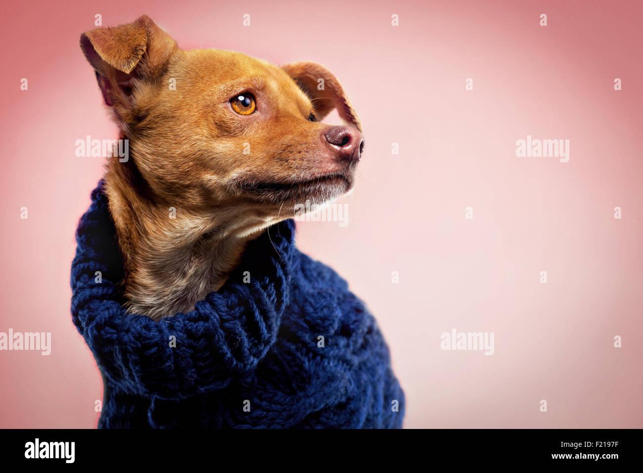 Lo zenzero chihuahua cane in maglione di lana su studio sullo sfondo. Immagini Stock
