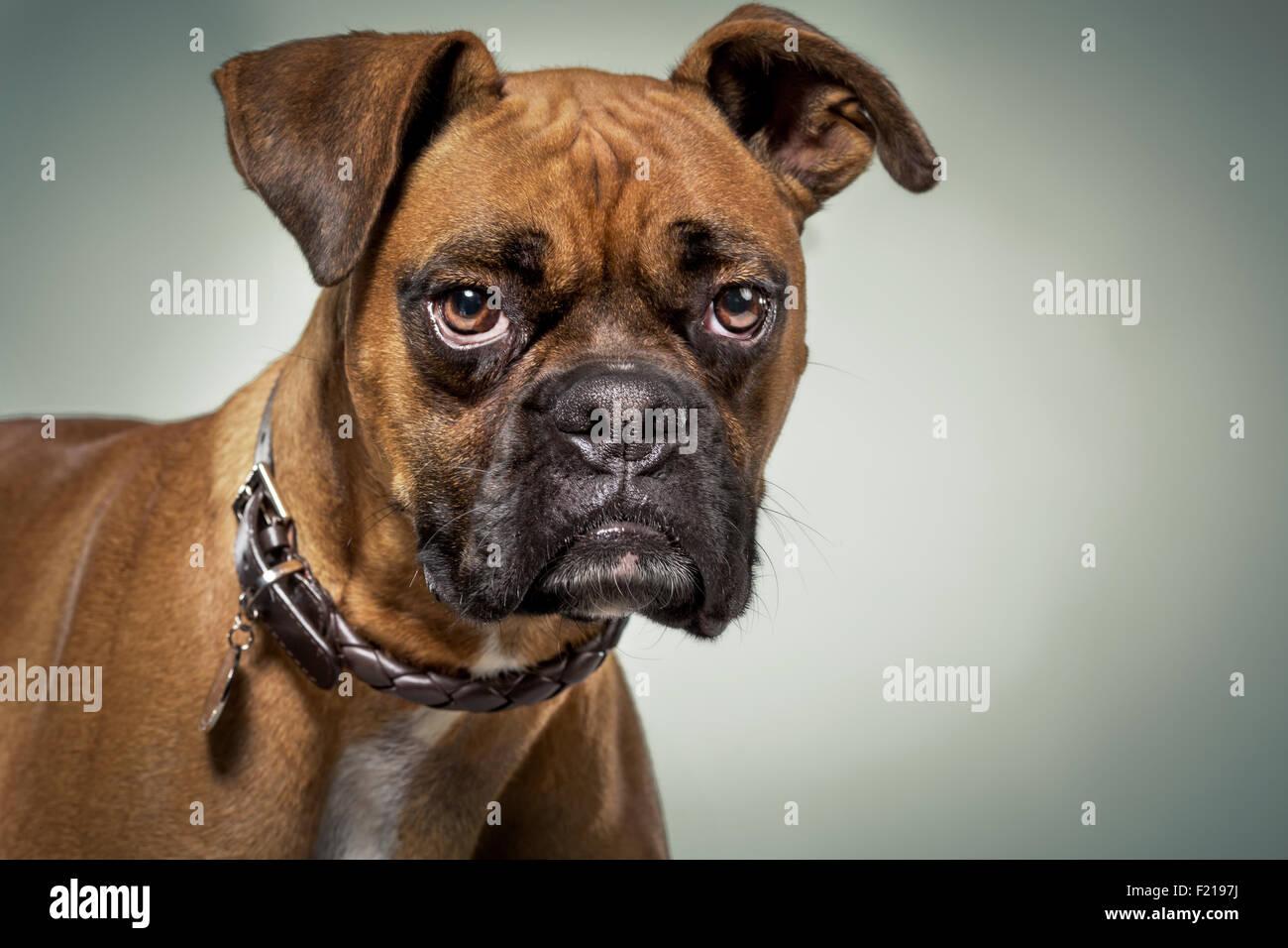 Cane Boxer con espressione seria in studio. Immagini Stock