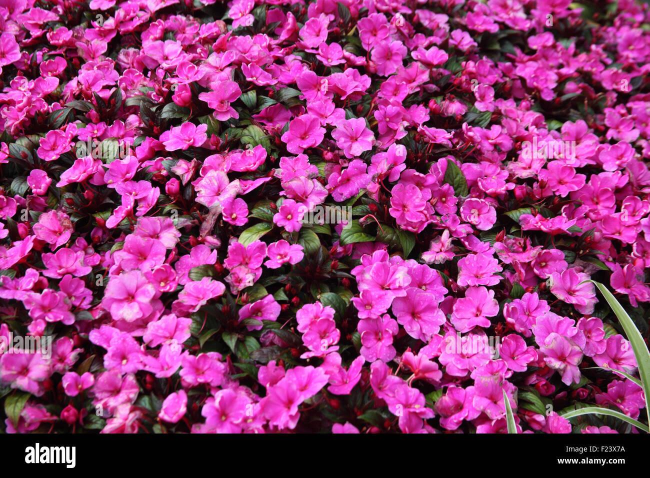 """Impatiens Walleriana """"Accento"""" serie close up di fiori Immagini Stock"""