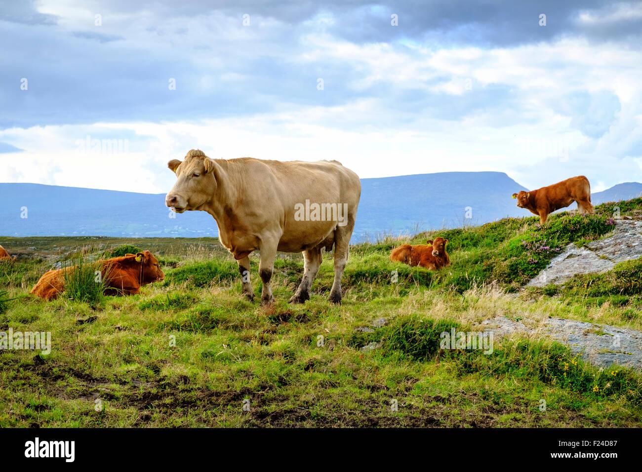 Jersey vacca vitello bovino vitelli Irlanda Regno Unito Immagini Stock