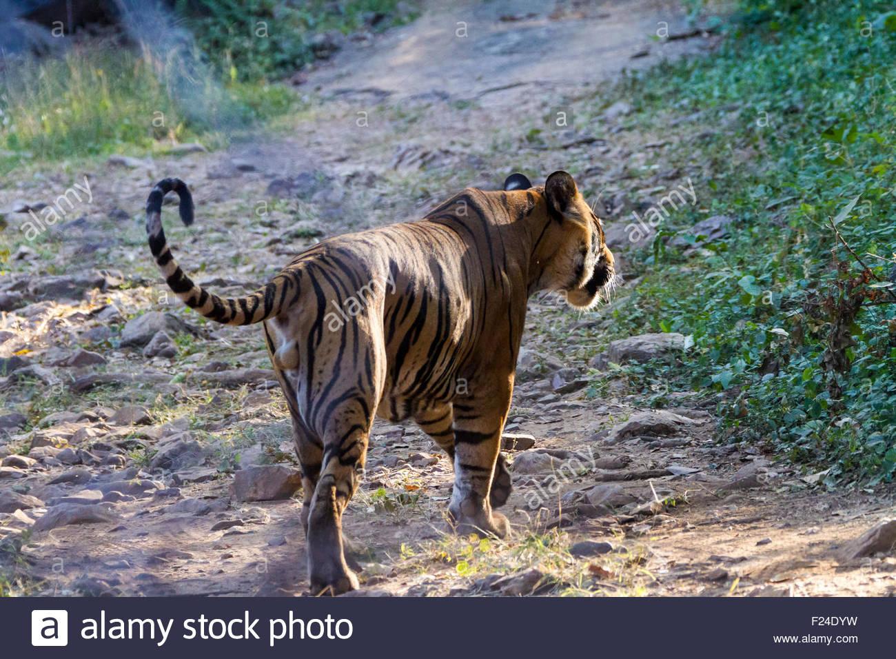 Un maschio di tigre del Bengala nel Parco nazionale di Ranthambore si allontana verso il basso un percorso sterrato. Immagini Stock