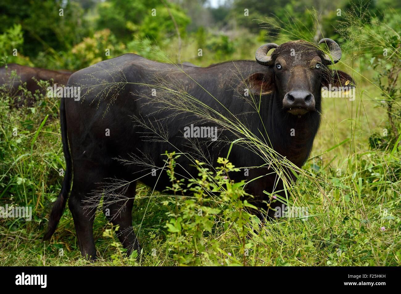 Sri Lanka, Provincia Orientale, regione di Trincomalee, Buffalo Immagini Stock