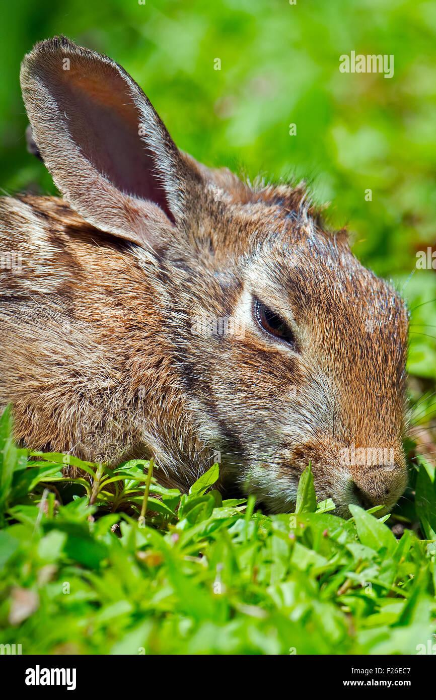 Orientale coniglio silvilago posa in erba Immagini Stock