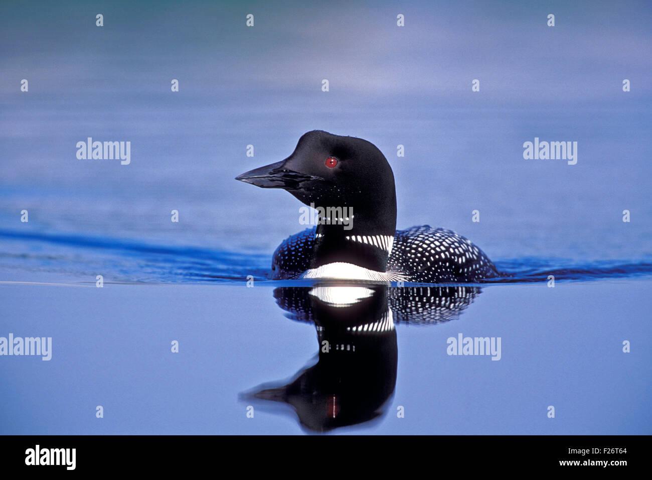 Loon comune nuotare nel lago. Immagini Stock