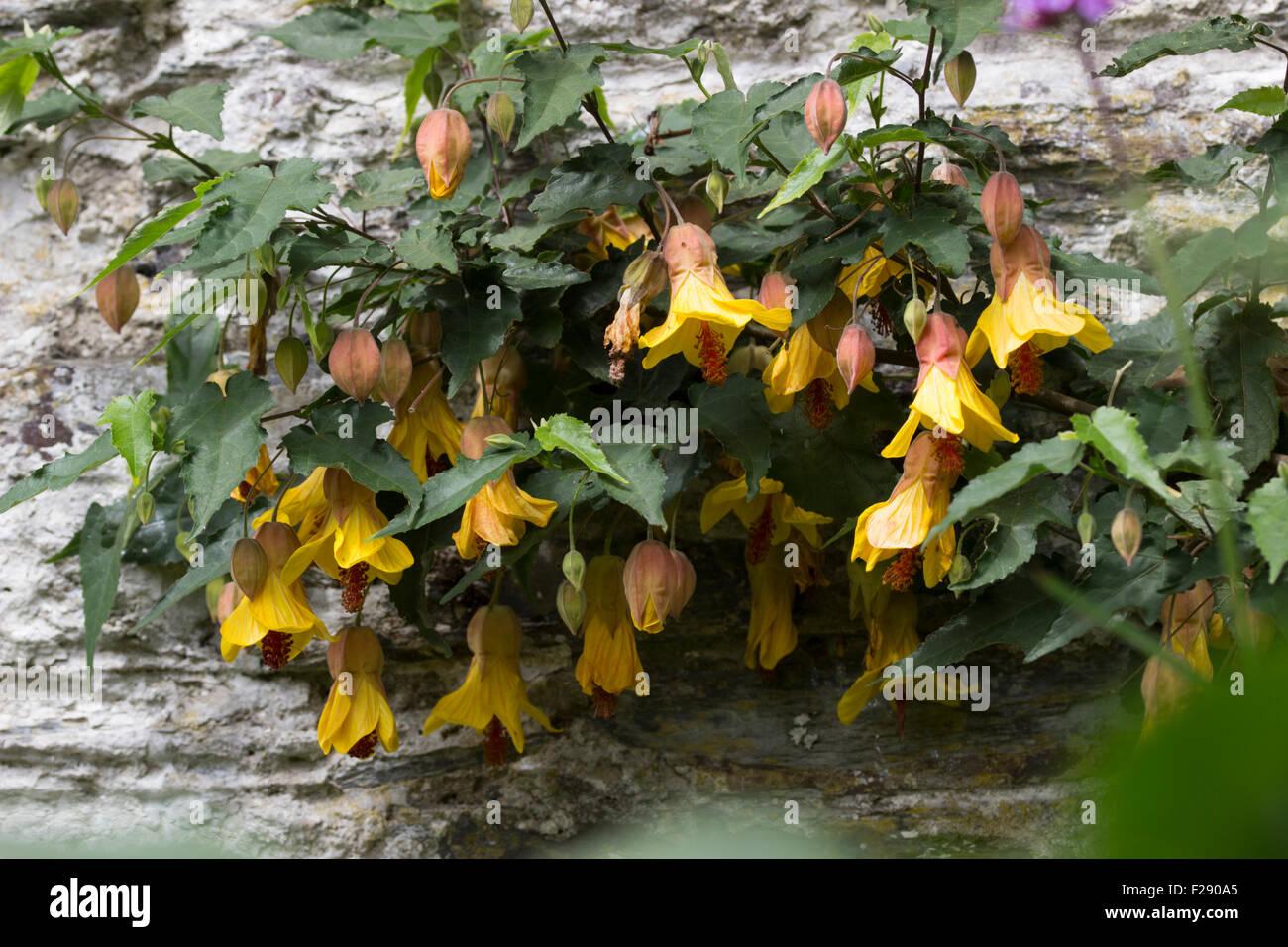 Fiori Gialli A Campana.Cresciuto Come Un Muro Arbusto Abutilon Vittoria Pende A Forma