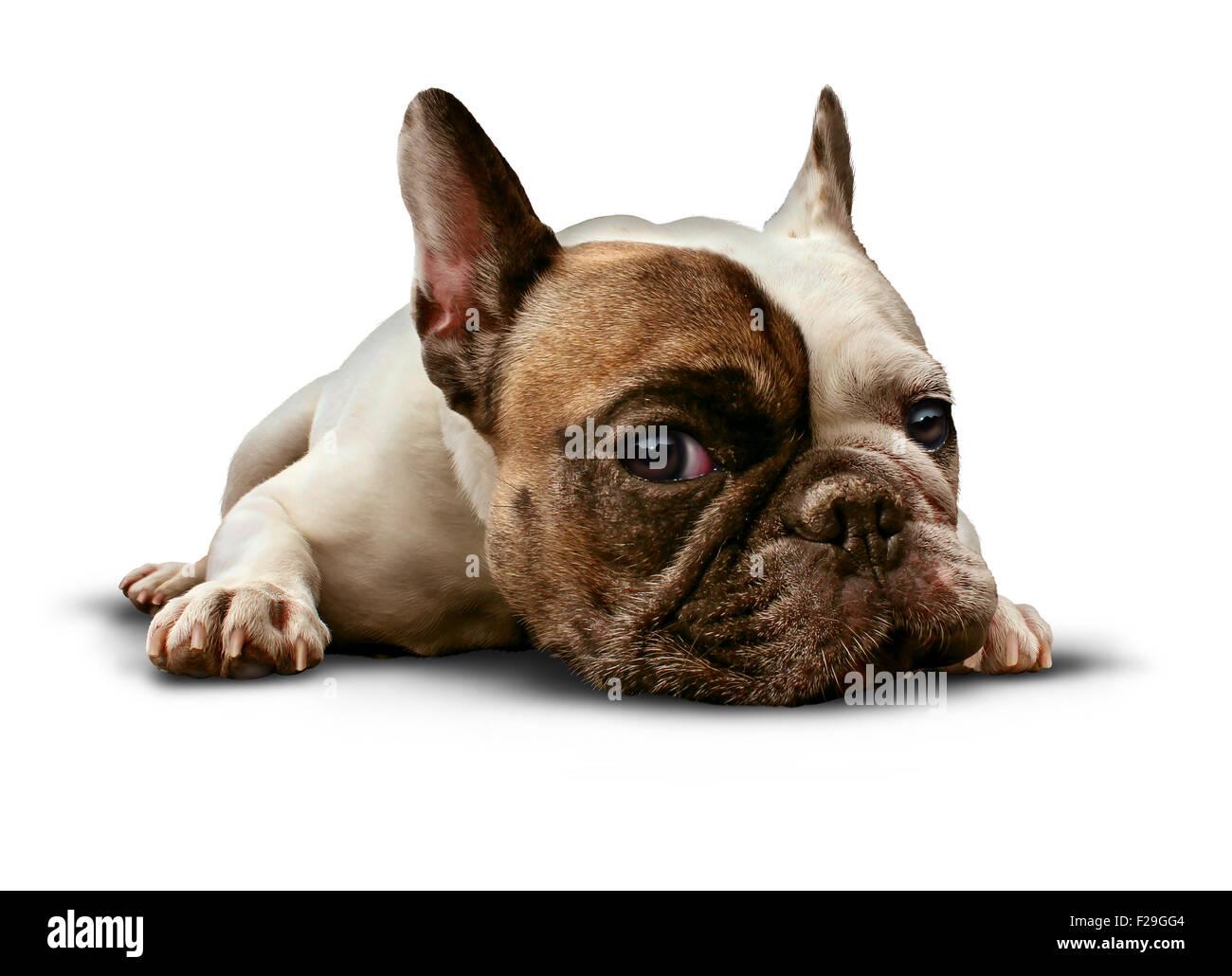 Cane sdraiato su uno sfondo bianco come un simpatico bulldog francese cercando triste e solitaria o la posa sul Immagini Stock