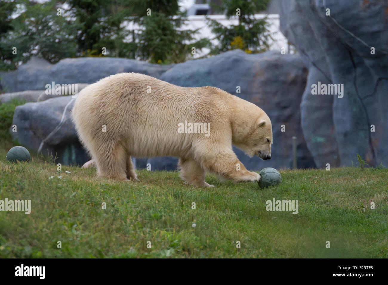 Toronto Zoo orso polare giocare all'aperto di erba Immagini Stock