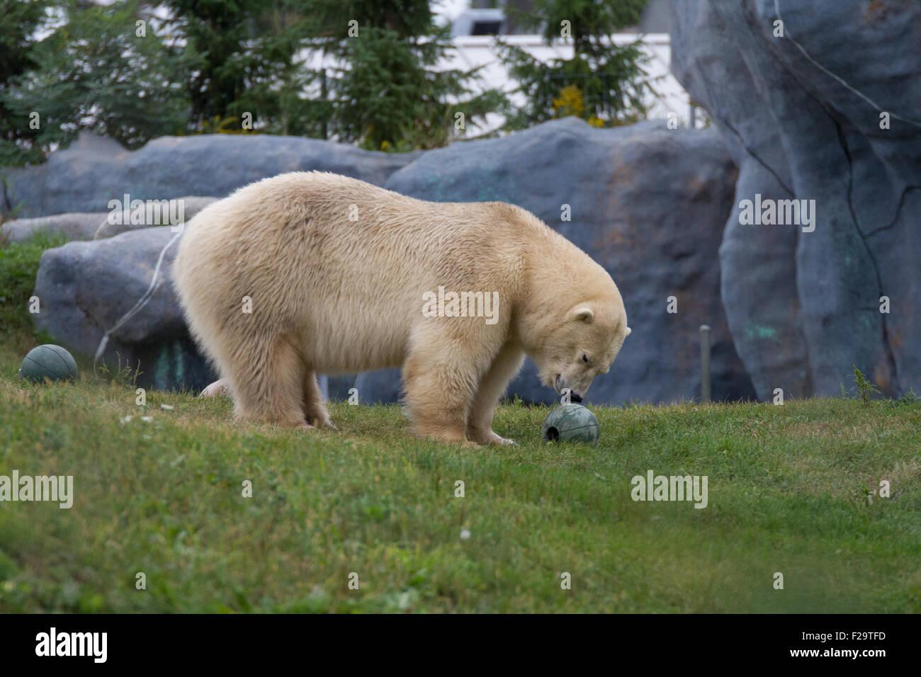 Orso polare outdoor lo zoo di erba Immagini Stock
