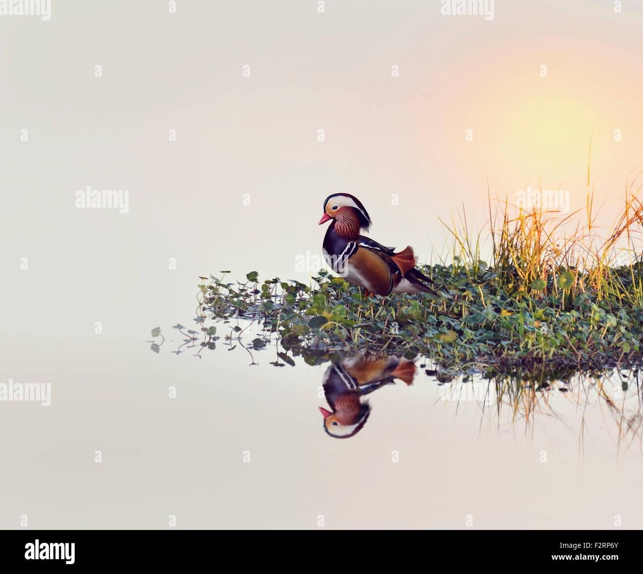 Maschi di Anatra di mandarino, sulle sponde di un lago. Immagini Stock