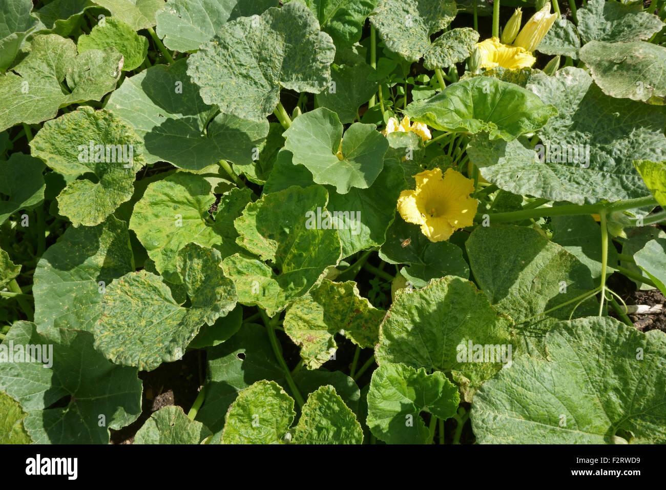 Il virus del mosaico del cetriolo, CMV, sintomi su un impianto di squash, Cucurbita spp., Hampshire, Agosto. Immagini Stock