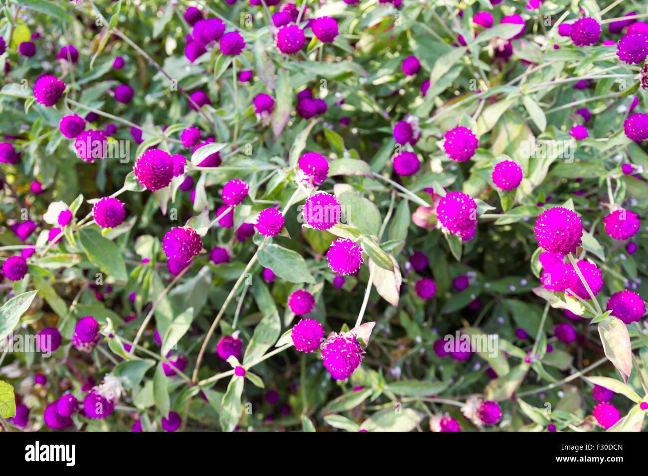 Amaranto a globo o Gomphrena globosa bellissimi fiori Immagini Stock