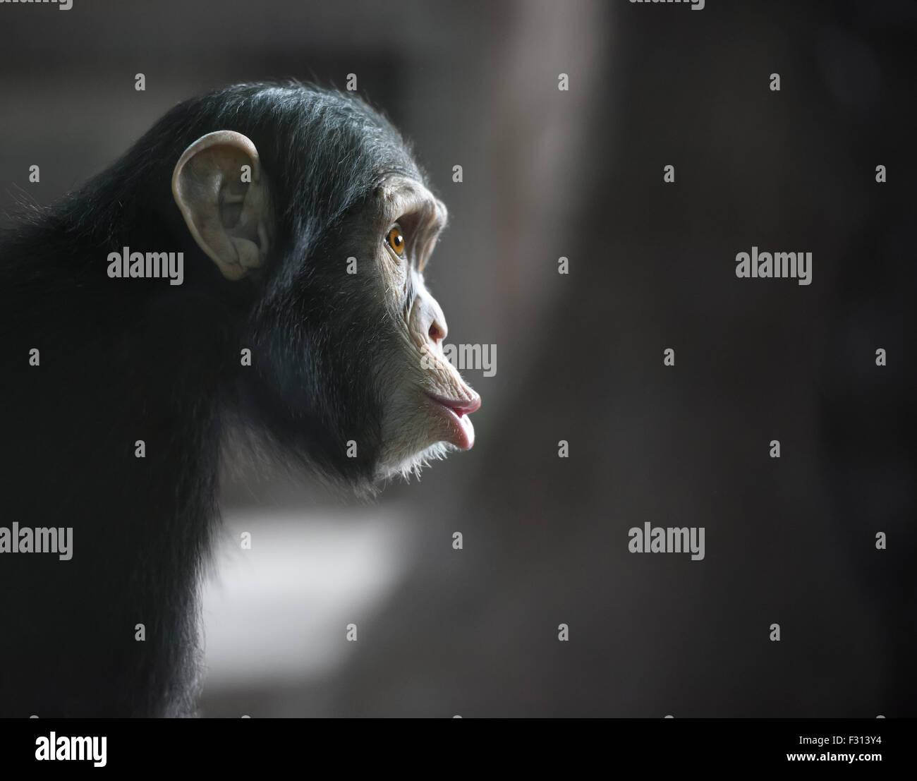 Uno scimpanzé è divertente faccia guardando sorpreso Immagini Stock